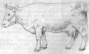 прокол при вздутии у теленка портфолио
